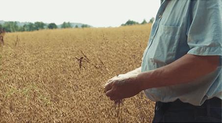 Haferkörner sind ein Getreide, das an Rispen wächst